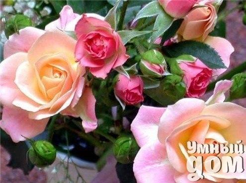 Календарь ухода за розами!!! Март В марте в средней полосе России еще лежит снег, особых работ в саду нет. Однако очень хорошо прогуляться, подышать свежим воздухом, одновременно утаптывая снег вокруг укрытия роз, для того, чтобы препятствовать свободный ход мышам. Уж очень любят они устраивать свои гнезда под укрытиями для роз, при этом обгладывают нежную кору стеблей или даже перегрызают отдельные веточки роз. Апрель Продолжайте утаптывать снег вокруг роз. В теплые апрельские дни, когда снег…